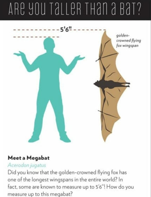 Golden Crowned Flying Fox From The Philippines Has 5'6 Wingspan